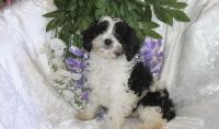 Cavapoo Puppies for sale in Aztec, NM, USA. price: NA