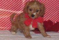 Cavapoo Puppies for sale in Honolulu, HI, USA. price: NA