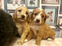 Cavapoo Puppies for sale in 813 FL-436, Altamonte Springs, FL 32714, USA. price: NA