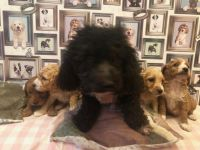 Cavapoo Puppies for sale in Ohio Pike, Amelia, OH 45102, USA. price: NA