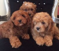 Cavapoo Puppies for sale in Portland, OR, USA. price: NA