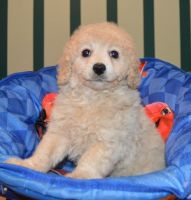 Cavapoo Puppies for sale in Dulles, VA, USA. price: NA