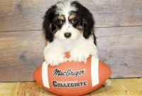Cavapoo Puppies for sale in Guernsey, WY, USA. price: NA