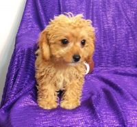 Cavapoo Puppies for sale in Picacho, AZ, USA. price: NA