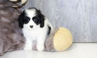 Cavapoo Puppies for sale in Houston, TX, USA. price: NA