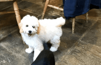 Cavapoo Puppies for sale in 15201 San Pedro Ave, San Antonio, TX 78232, USA. price: NA