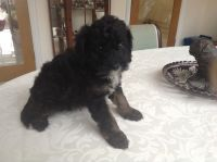 Cavapoo Puppies for sale in Pennsylvania Ave NW, Washington, DC, USA. price: NA