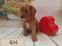 Cavapoo Puppies for sale in Brownsville, TX 78520, USA. price: NA