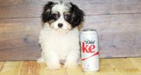 Cavapoo Puppies for sale in Morgan City, MS, USA. price: NA