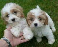 Cavapoo Puppies for sale in Grand Rapids, MI, USA. price: NA