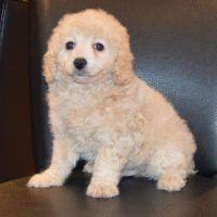 Cavapoo Puppies for sale in Manhattan Beach, CA, USA. price: NA
