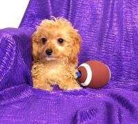 Cavapoo Puppies for sale in Bluff City, AR, USA. price: NA