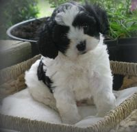 Cavapoo Puppies for sale in Queen City, MO 63561, USA. price: NA