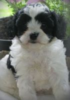 Cavapoo Puppies for sale in Fargo, ND, USA. price: NA