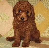 Cavapoo Puppies for sale in Baton Rouge, LA, USA. price: NA