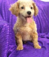Cavapoo Puppies for sale in Bend, OR, USA. price: NA
