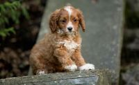 Cavapoo Puppies for sale in Ellicott City, MD, USA. price: NA