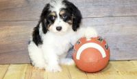Cavapoo Puppies for sale in Roderfield, WV 24828, USA. price: NA