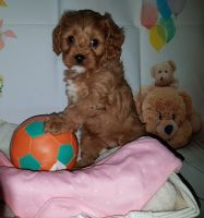 Cavapoo Puppies for sale in Alabama Ave SE, Washington, DC, USA. price: NA