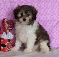 Cavapoo Puppies for sale in Pottstown, PA 19464, USA. price: NA