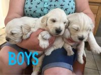 Cavapoo Puppies for sale in 2018 Elizabeth St, Springfield, IL 62702, USA. price: NA