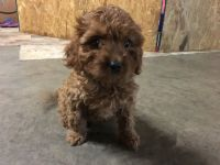 Cavapoo Puppies for sale in Turbotville, PA 17772, USA. price: NA