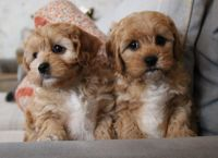Cavapoo Puppies for sale in Colorado Springs, CO 80903, USA. price: NA