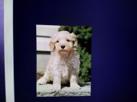 Cavapoo Puppies for sale in Allenwood, PA 17810, USA. price: NA