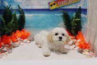 Cavapoo Puppies for sale in Las Vegas, NV 89178, USA. price: NA