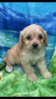 Cavapoo Puppies for sale in Jeffersonville, IN, USA. price: NA