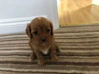 Cavapoo Puppies for sale in Charleston, SC, USA. price: NA