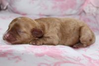 Cavapoo Puppies for sale in Louisville, KY, USA. price: NA