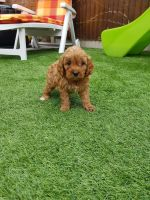 Cavapoo Puppies for sale in Colorado Springs, CO, USA. price: NA