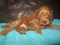 Cavapoo Puppies for sale in Pittsburgh, PA, USA. price: NA