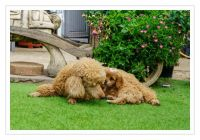 Cavapoo Puppies for sale in Canal Winchester South Rd, Canal Winchester, OH 43110, USA. price: NA