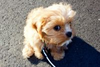 Cavapoo Puppies for sale in San Jose, CA 95113, USA. price: NA
