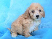 Cavapoo Puppies for sale in Cedar Rapids, IA, USA. price: NA
