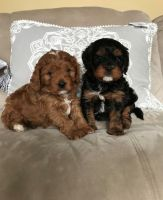 Cavapoo Puppies for sale in Provo, UT, USA. price: NA