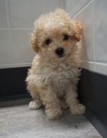Cavapoo Puppies for sale in Gillette, WY, USA. price: NA