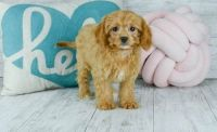 Cavapoo Puppies for sale in Mesa, AZ, USA. price: NA