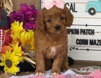 Cavapoo Puppies for sale in Richmond, VA, USA. price: NA