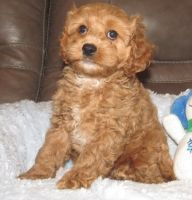 Cavapoo Puppies for sale in Milwaukee, WI 53218, USA. price: NA