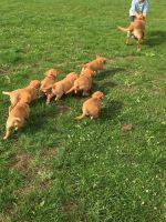 Cavapoo Puppies for sale in Sacramento, CA, USA. price: NA