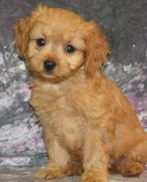Cavapoo Puppies for sale in Birmingham, AL 35238, USA. price: NA