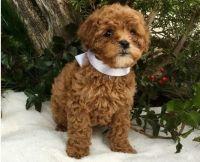 Cavapoo Puppies for sale in Boston, MA 02114, USA. price: NA