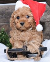 Cavapoo Puppies for sale in Worcester, MA 01608, USA. price: NA