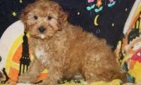 Cavapoo Puppies for sale in Phoenix, AZ 85024, USA. price: NA