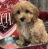 Cavapoo Puppies for sale in Denver, CO 80219, USA. price: NA