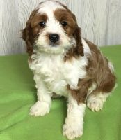 Cavapoo Puppies for sale in Columbus, OH, USA. price: NA