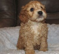 Cavapoo Puppies for sale in Chicago, IL 60616, USA. price: NA